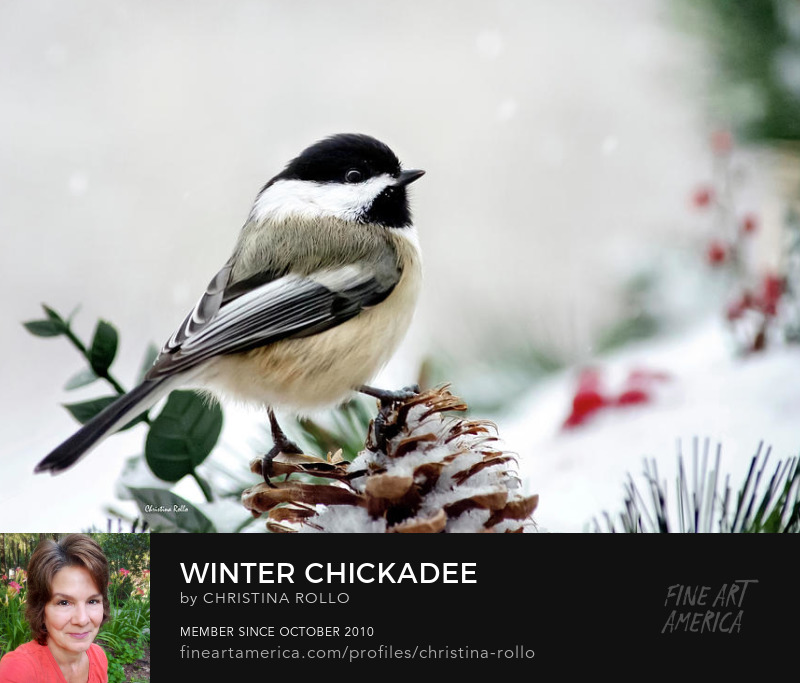 Winter Chickadee Photo Prints for Sale