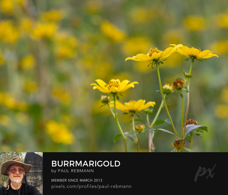 View online purchase options for Burrmarigold by Paul Rebmann