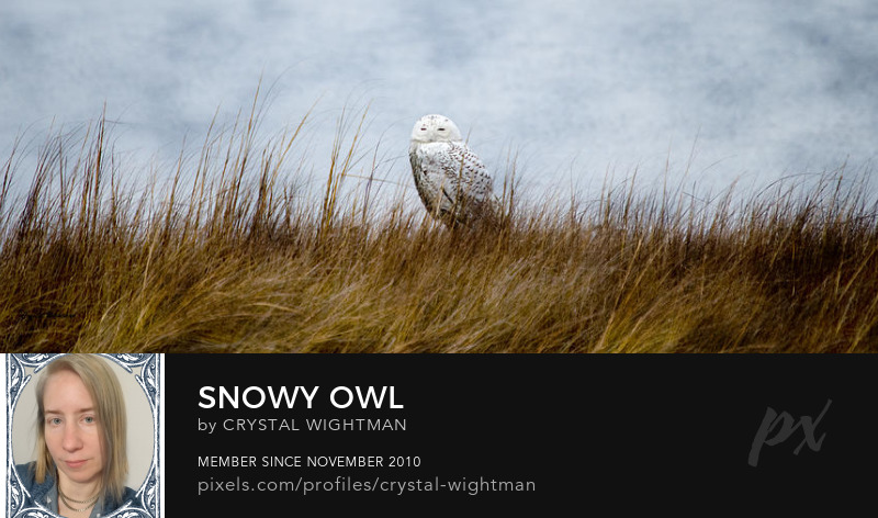 Bird Photography -Owl photos of a Snowy Owl