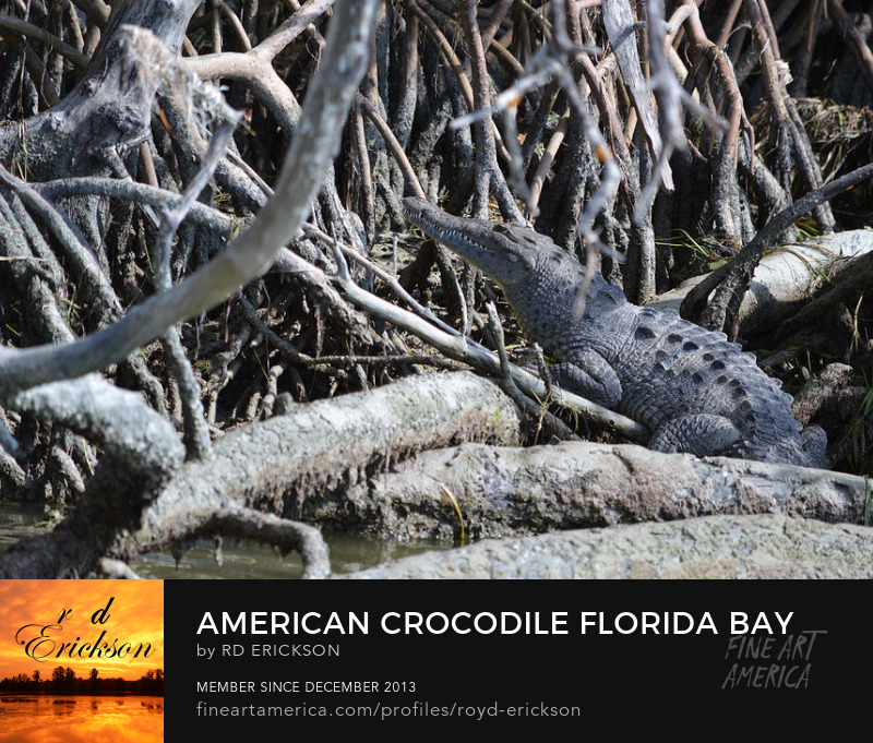 American Crocodile Florida Bay