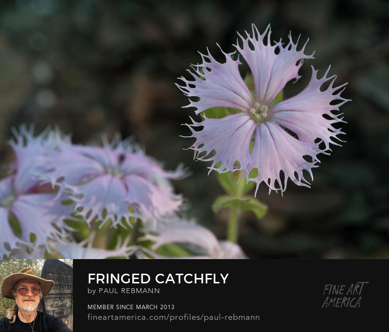 View online purchase options for Purchase Fringed Catchfly by Paul Rebmann
