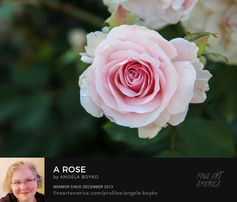 rose photography picture