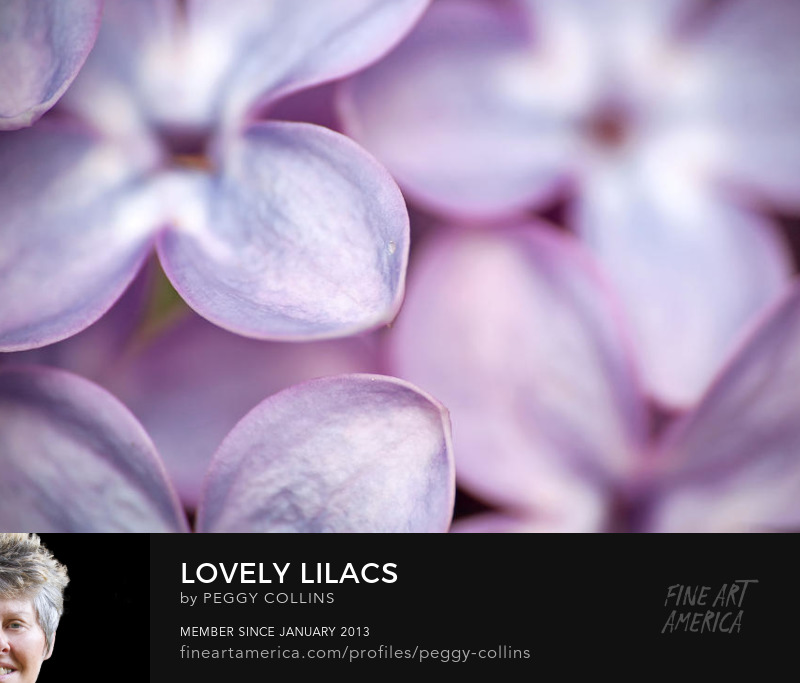 lilacs photograph by peggy collins