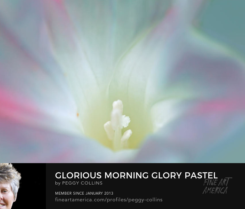 morning glory by peggy collins