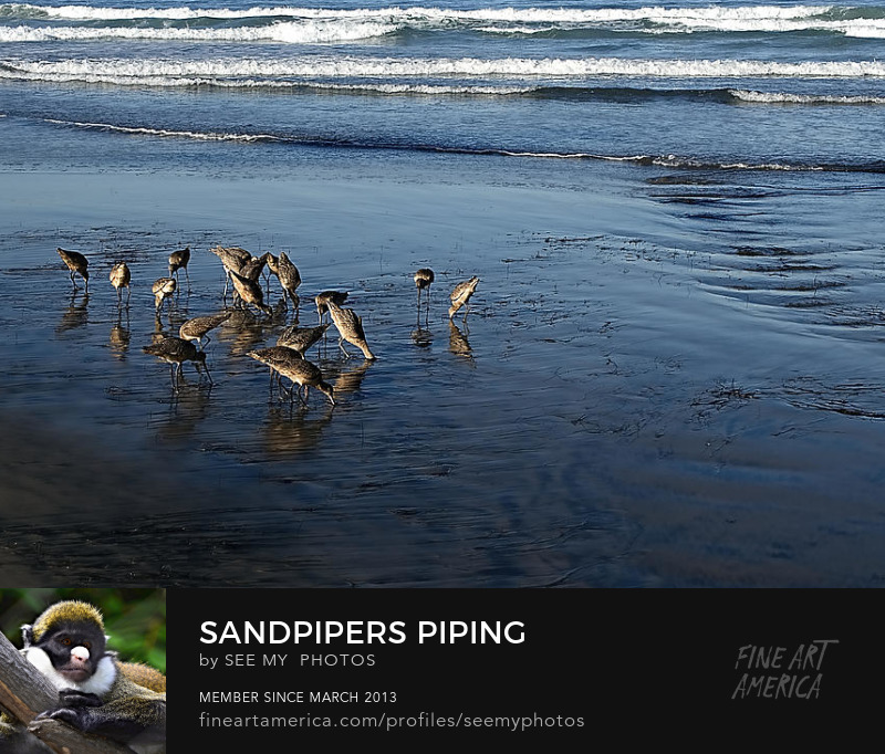 sandpipers piping by craig carter