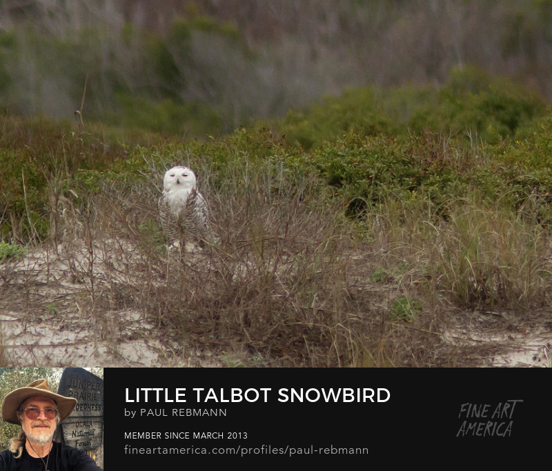 View online purchase options for Little Talbot Snowbird by Paul Rebmann