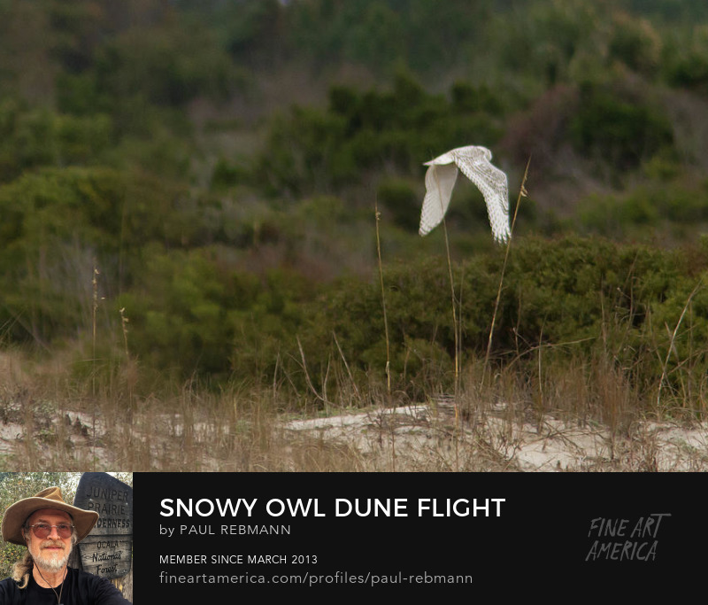 View online purchase options for Snowy Owl Dune Flight by Paul Rebmann