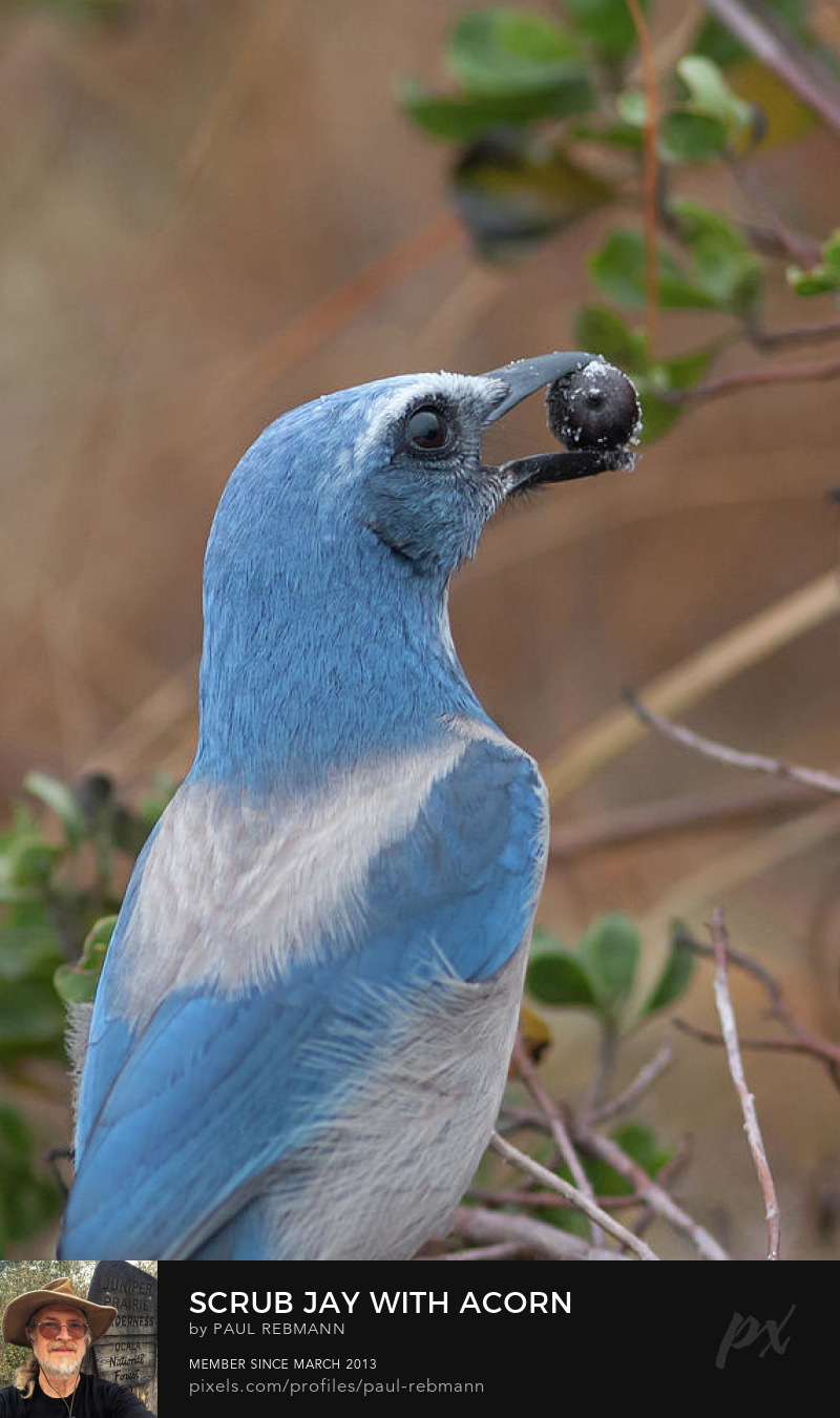View online purchase options for Scrub Jay with Acorn by Paul Rebmann