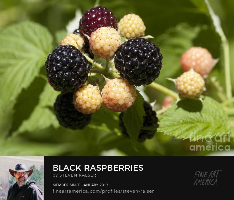 Black raspberries, also known as black caps