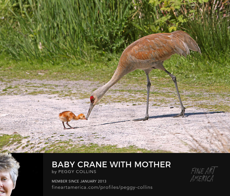 baby crane with mother photograph by peggy collins
