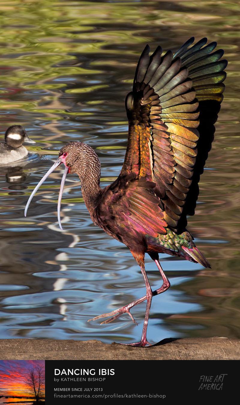Dancing Ibis by Kathleen Bishop Photography