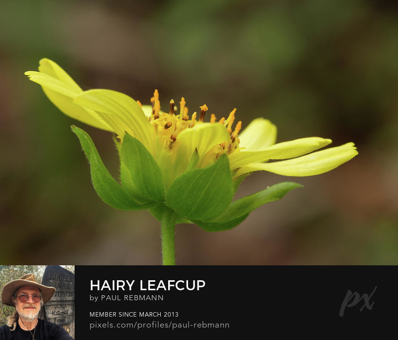 View online purchase options for Hairy Leafcup by Paul Rebmann