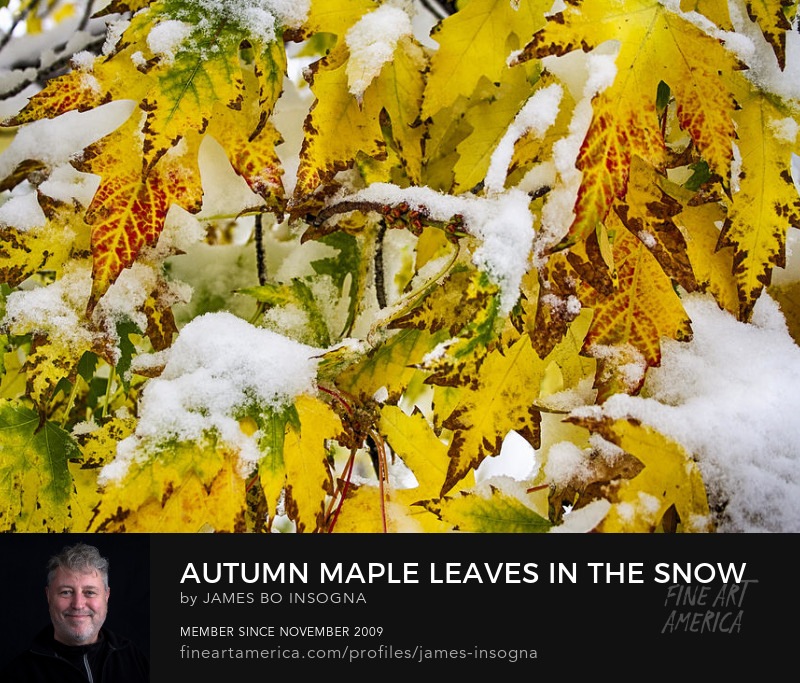 Maple Leaves Autumn in The Snow Photography Prints
