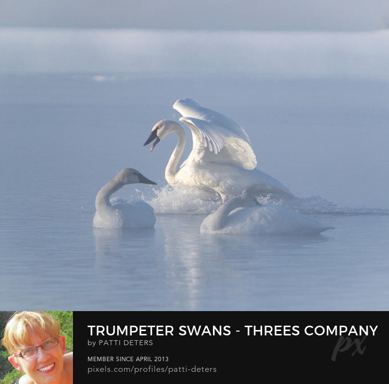 swans white bird trumpeter water ©patti-deters.pixels.com