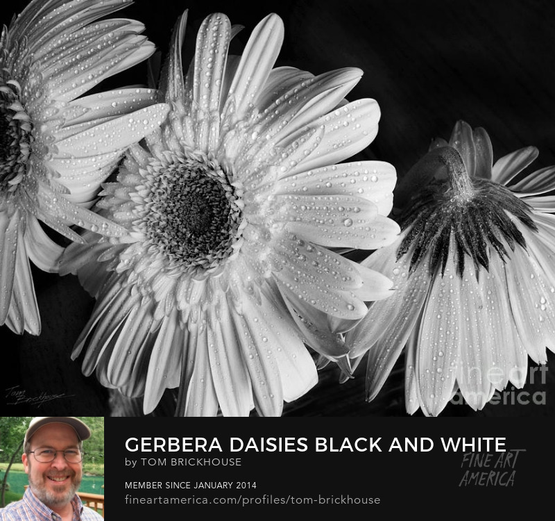 Gerbera Daisies Photography Prints by Tom Brickhouse