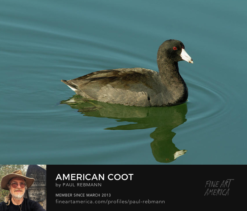 View online purchase options for American Coot by Paul Rebmann
