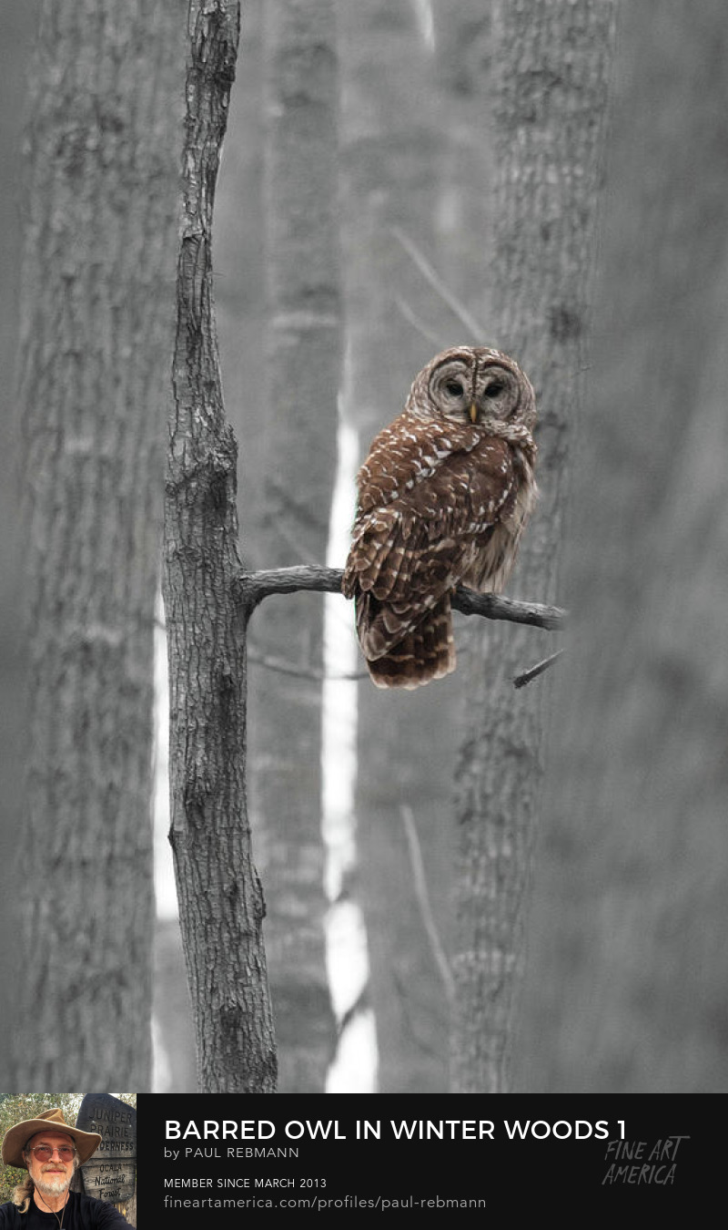 View online purchase options for Barred Owl in Winter Woods #1 by Paul Rebmann