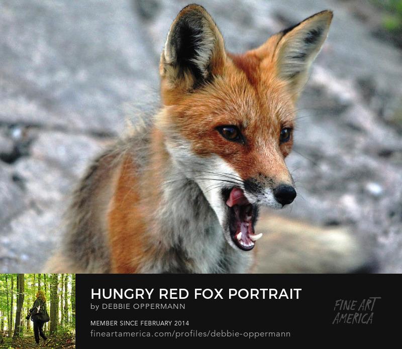 Hungry Red Fox Portrait by Debbie Oppermann
