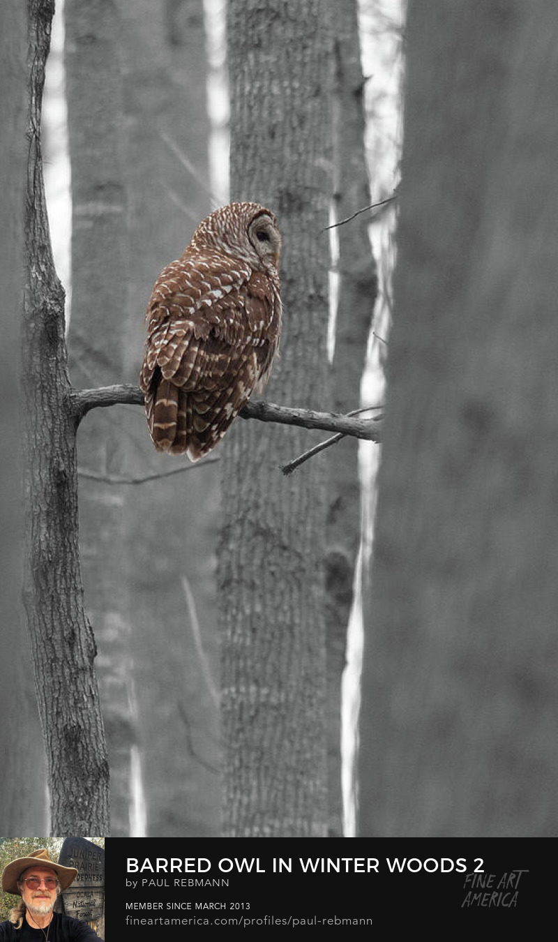 View online purchase options for Barred Owl in Winter Woods #2 by Paul Rebmann