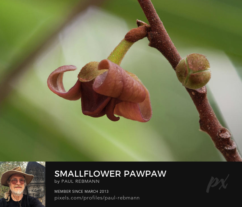 View online purchase options for Smallflower Pawpaw by Paul Rebmann
