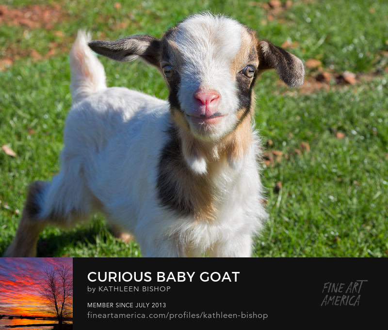 Curious Baby Goat by Kathleen Bishop Photography