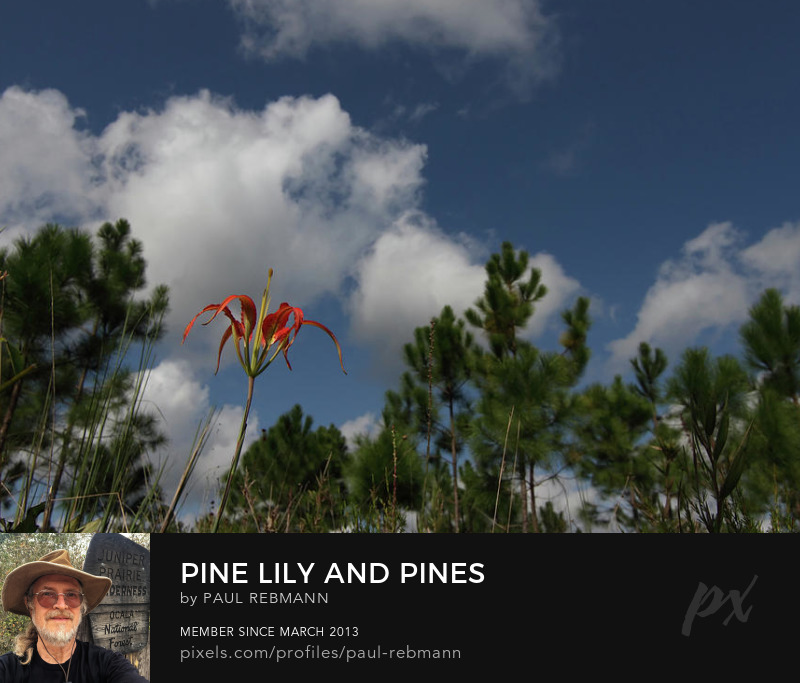 View online purchase options for Pine Lily and Pines by Paul Rebmann
