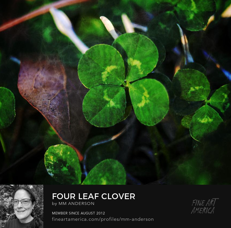 Four Leaf Clover photograph for sale by MM Anderson
