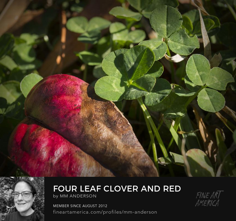 Four Leaf Clover and Red Nandina Leaf photo for sale by MM Anderson