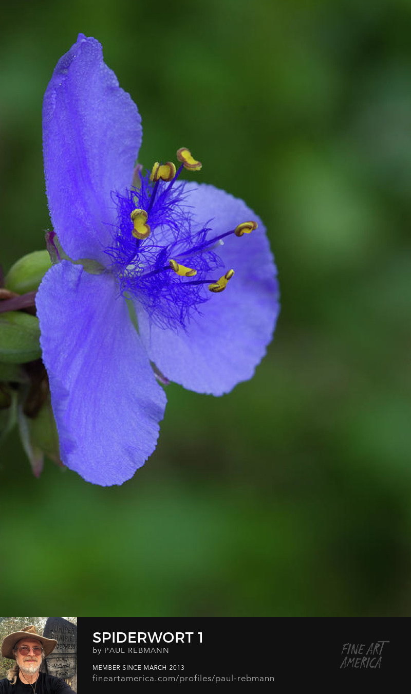 View online purchase options for Spiderwort #1 by Paul Rebmann