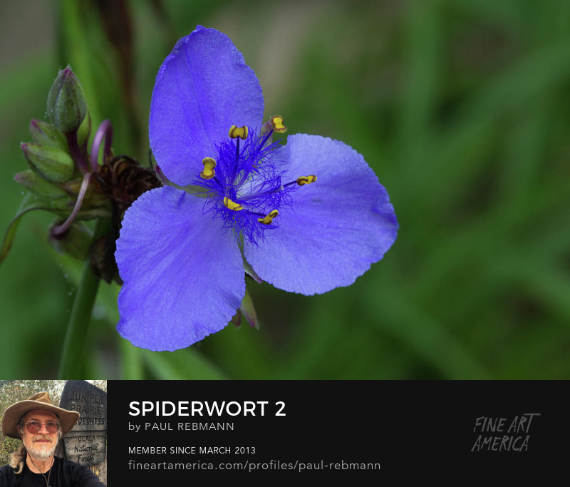 View online purchase options for Spiderwort #2 by Paul Rebmann