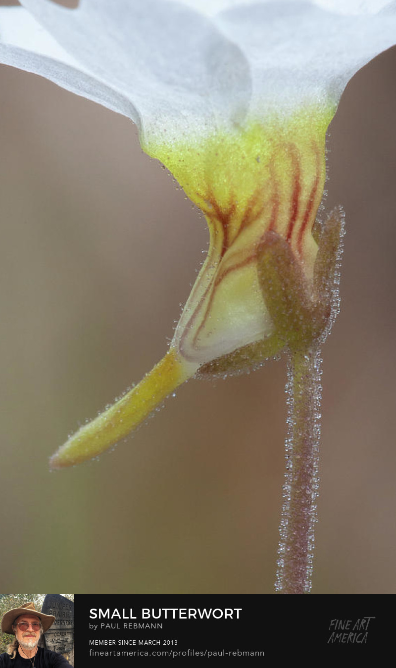 View online purchase options for Small Butterwort by Paul Rebmann
