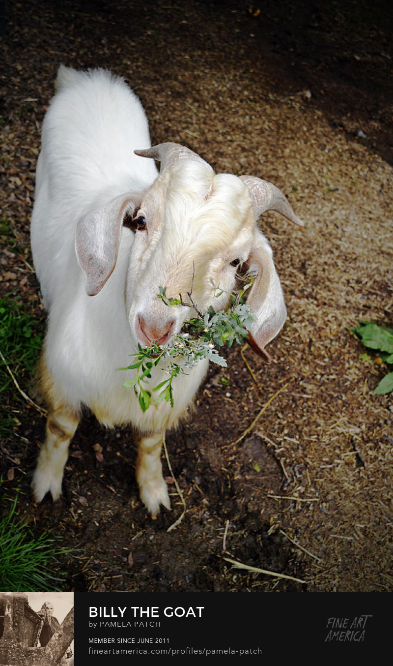 Goat photography by Pamela Patch