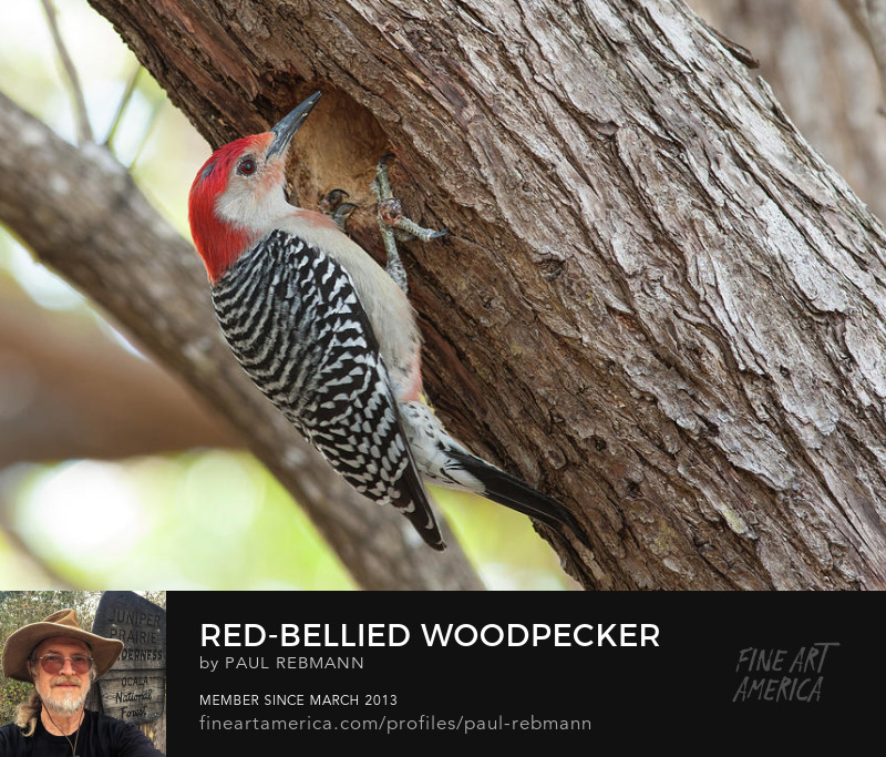 View online purchase options for Red-bellied Woodpecker by Paul Rebmann