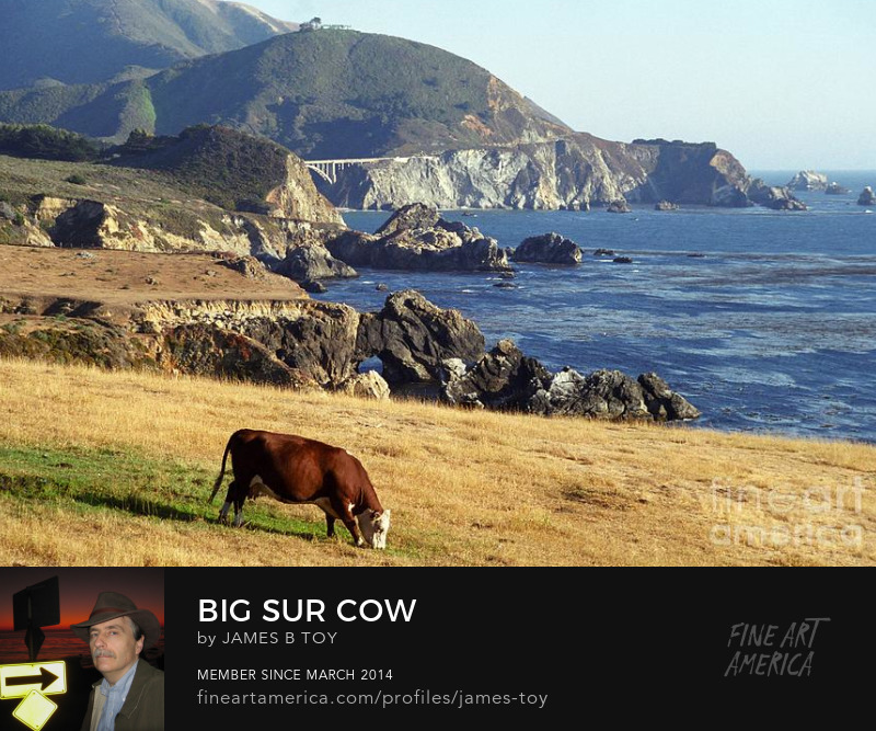 Big Sur Cow