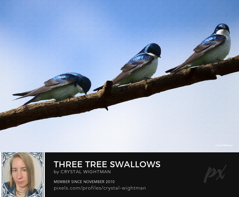 Bird Photography - three Tree Swallow birds on a tree branch by Crystal Wightman.