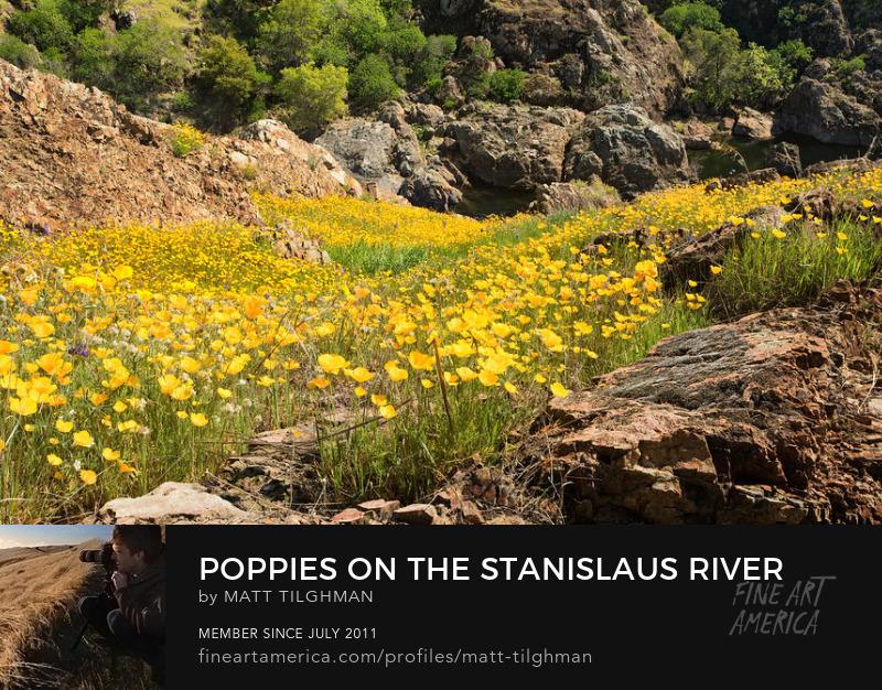 California Poppies Photography Prints