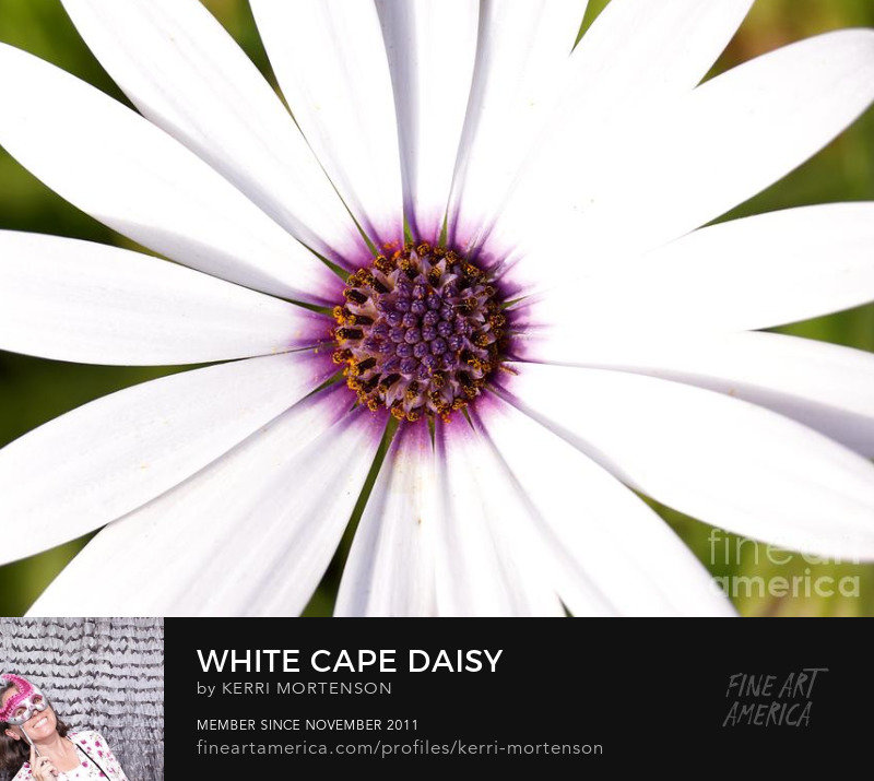 White Cape Daisy by Kerri Mortenson