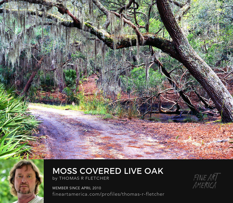 Spanish moss dangles from a Live oak, Little St Simons Island, Georgia Sell Art Online