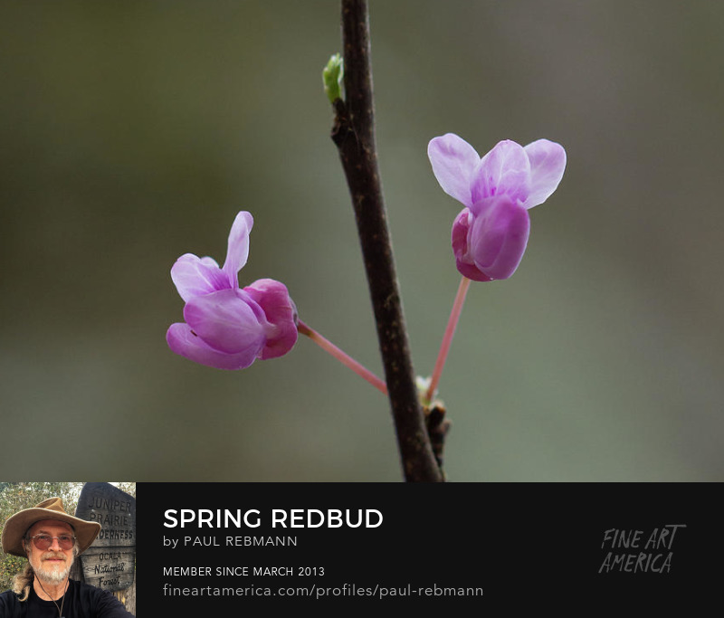 View online purchase options for Spring Redbud by Paul Rebmann