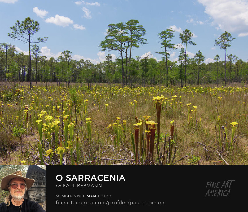 Award-winning O Sarracenia by Paul Rebmann