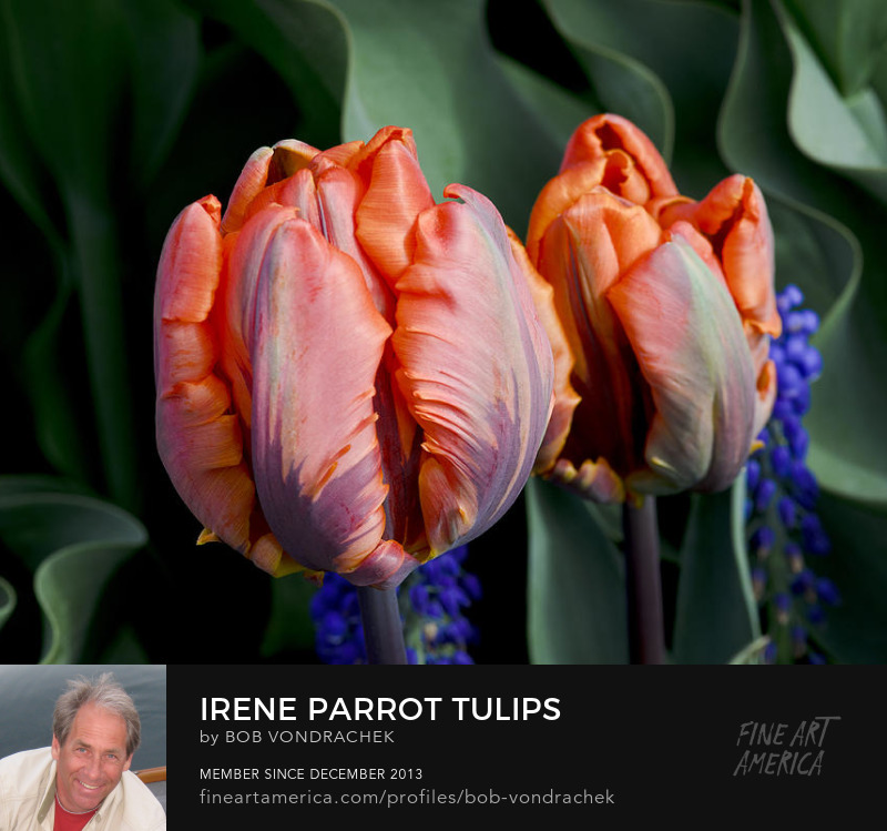 Tulip Prints for sale by Bob VonDrachek