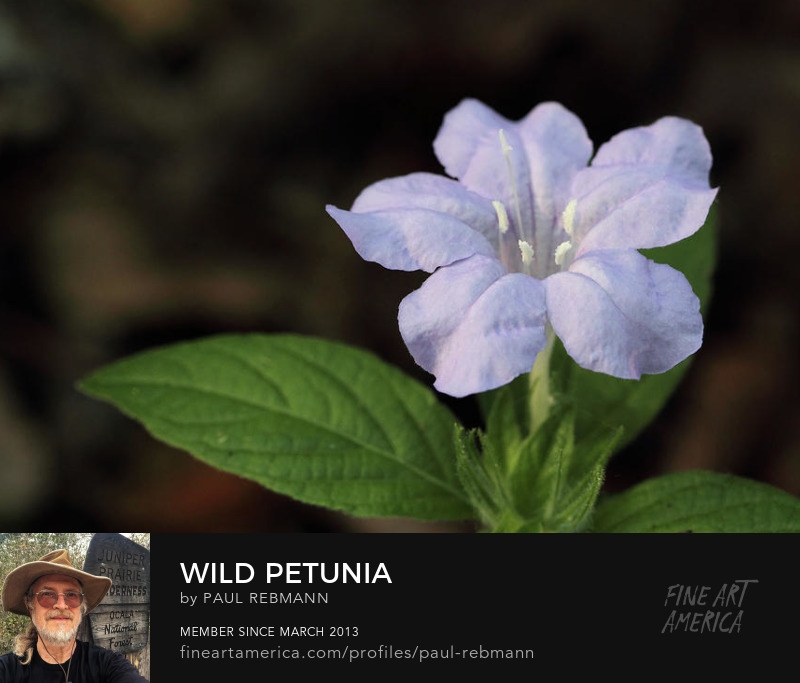 View online purchase options for Wild Petunia by Paul Rebmann