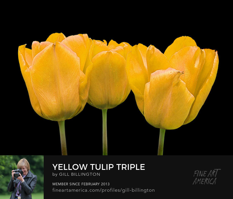 Yellow Tulip Triple