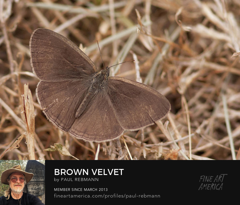View online purchase options for Brown Velvet by Paul Rebmann
