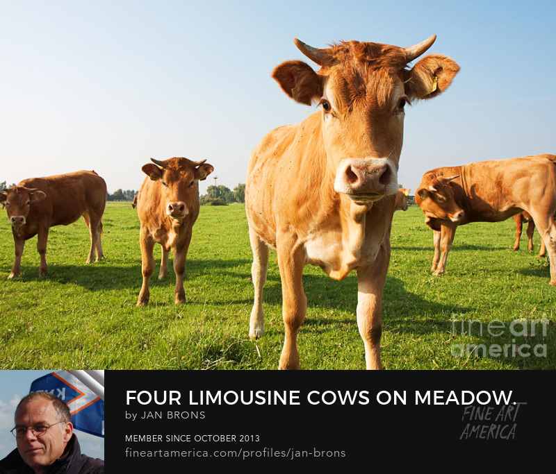 Four limousine cows on meadow - Photography Prints