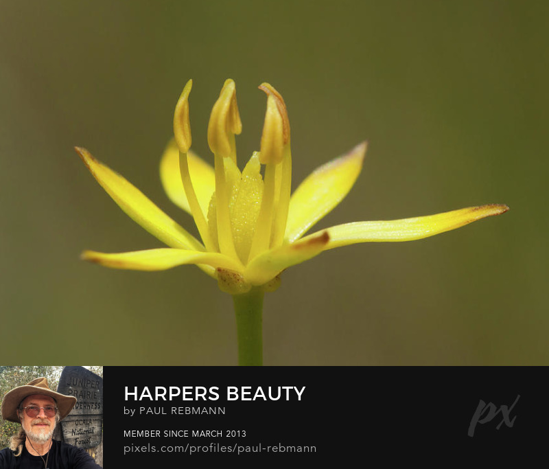View online purchase options for Harper's Beauty by Paul Rebmann