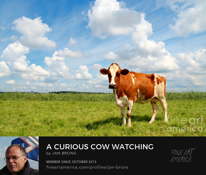 Curious cow standing on meadow - Photography Prints