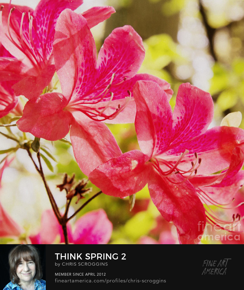 colorful pink azaleas photo by chris scroggins