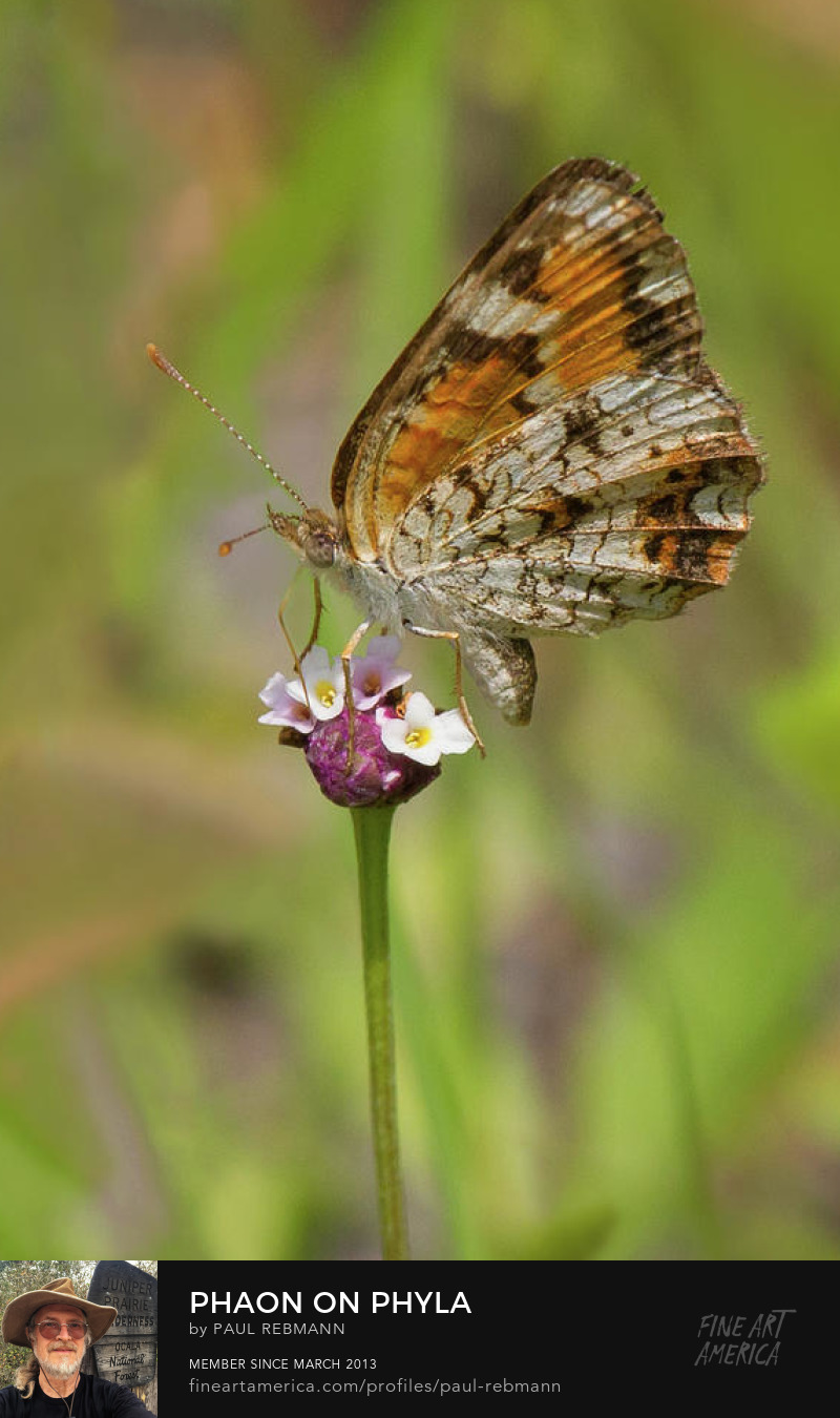 Purchase Phaon on Phyla by Paul Rebmann