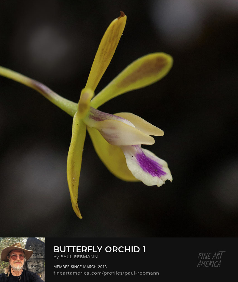 View online purchase options for Butterfly Orchid #1 by Paul Rebmann